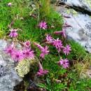 Flori din Făgăraşi