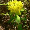 Euphorbiacee