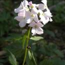 Flori de pe culmile Orbaiului (Munţii Vrancei)