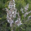 Florile Perchiului-3