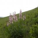 Pe Dealul Perchiu (Subcarpații Tazlăului) a înflorit frăsinelul !