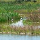 Egreta-mică (Egretta garzetta L.)