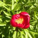 Flori din Dobrogea