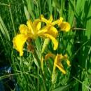 Flori din Dobrogea – 2