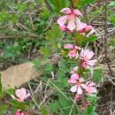 Pe Dealul Perchiu (Onești), migdalul-pitic stă să înflorească !