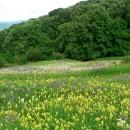 Covoare de flori pe Dealul Perchiu (Onești)