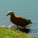 Călifarul-roșu (Tadorna ferruginea)