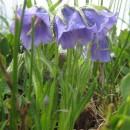 Flori din Munții Rodnei