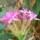 Mic foto-atlas cu flori din Dobrogea