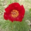 Familia Paeoniaceae, genul Paeonia, adică bujorii!