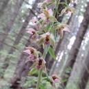 Orhideele genului Epipactis