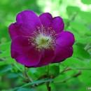 Flori de pe valea Vârghișului