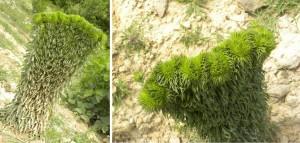 Cirsium arvense (?) - ASTERACEAE foto: Marelena Pușcarciuc 17 iulie 2013 - Muchia Poiana Stânii (Munții Berzunți)